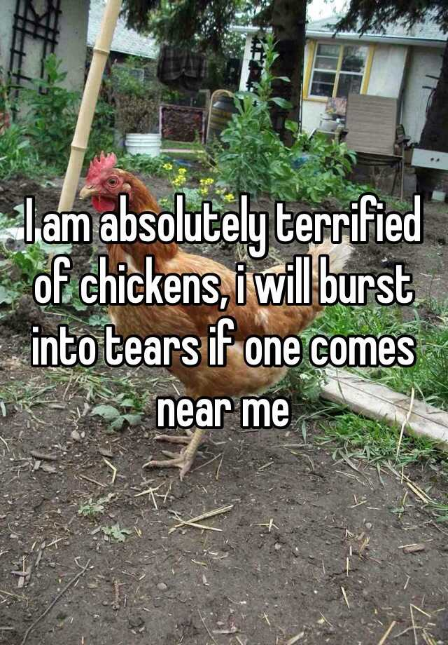 I am absolutely terrified of chickens, i will burst into tears if one comes near me